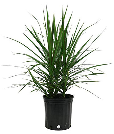 Costa Farms Dracaena Marginata Magenta Madagascar Dragon Tree Live Indoor Plant, 3-Foot Tall, Ships in Grower's Pot
