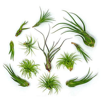 50 Air Plants Bulk | Live Tillandsia Plant Lot | Bulk Wedding Favors | DIY Party Gift | Air Succulents Set | Box Wholesale Lots by Plants for Pets