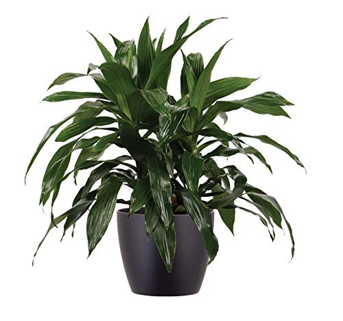 "Shop Succulents | Live Dracaena Janet Craig Cane House Plant in 6"" Grow Pot, Hand Selected for Size, Health & Readiness,"