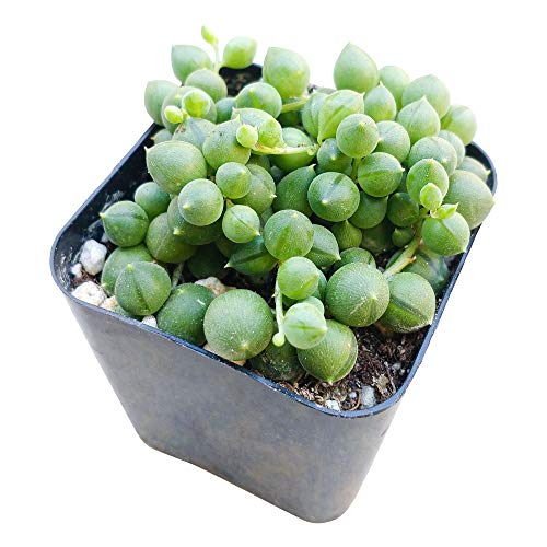 String of Pearls 2 inch | Healthy Succulent String Live Easy Care Indoor House Plant, Fully Rooted in 2/4/6 inch Sizes