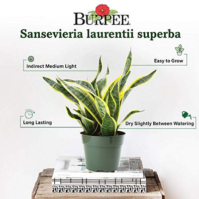"Burpee Sanseviera laurentii Golden Snake Indirect Medium Light | Live Easy Care Indoor House Plant, 6"" Pot"