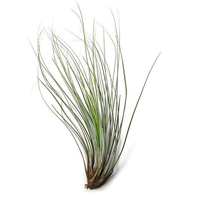 5 Pack Classic Variety Tillandsia Air Plant Assortment - 30 Day Guarantee - Fast Shipping - House Plants - Succulents - Free Air Plant Care Ebook by Jody James