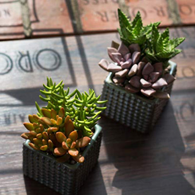 "Altman Plants, Beloved Succulent Plants Collection (4 Pack) 2.5"" Potted Succulents Plants Live House Plants, Cactus Plants Live Indoor Plants Live Houseplants in Pots with Cacti and Succulent Soil"