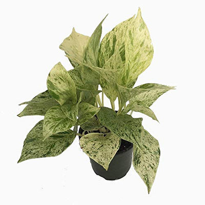 "Snow Queen Devil's Ivy - Pothos - Epipremnum - 4"" Pot - Very Easy to Grow"