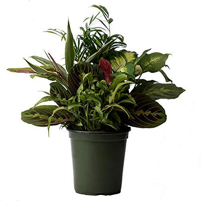 "AMERICAN PLANT EXCHANGE Dish Garden Assorted Foliage Live Plant, 6"" Pot, Season Selection"