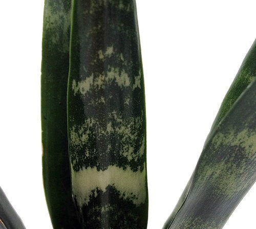 "Black Coral Snake Plant - Sansevieria - Almost Impossible to Kill - 4"" Pot"