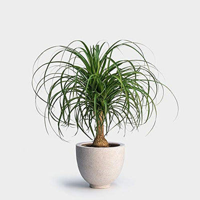 "AMERICAN PLANT EXCHANGE Ponytail Palm Single Trunk Live Plant, 6"" Pot, Indoor/Outdoor Air Purifier"