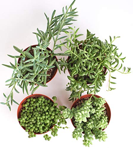 "Shop Succulents | Hanging Live Succulent Plants, Hand Selected Pearls, Bananas, String of Fishhooks & Burrito Sedum Variety in 4"" Grow Pots 