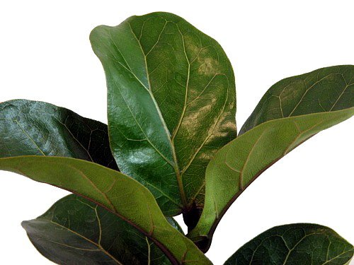 "Hirt's Fiddleleaf Fig Tree - Ficus - Great Indoor Tree - 4"" Pot/Decorative Cover"