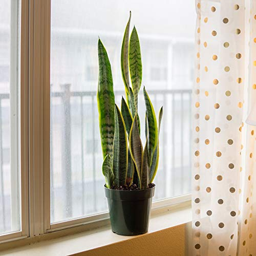 Perfect Plants Snake Plant | Sansevieria Trifasciata 16in Tall | Easy Care Houseplant | Perfect for Low to Bright Light Conditions, 6 in Grower's Pot, | Air Purifying