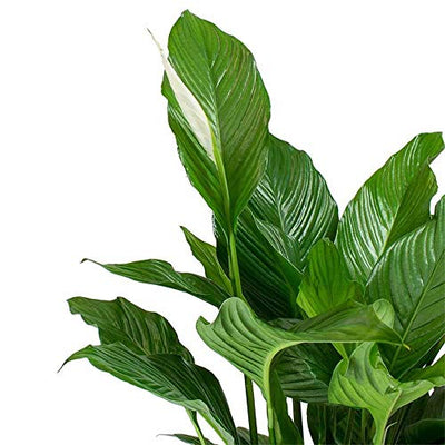 AMERICAN PLANT EXCHANGE Spathiphyllum Debbie Peace Lily Live Plant, 3 Gallon, Indoor/Outdoor Air Purifier