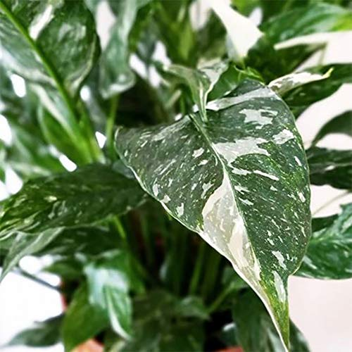 "AMERICAN PLANT EXCHANGE Variegated Spathiphyllum Domino Peace Lily Live Plant, 6"" Pot, Top Indoor Air Purifier"