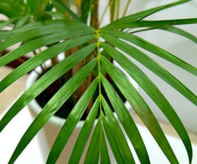 "AMERICAN PLANT EXCHANGE Areca Palm Indoor/Outdoor Air Purifier Live Plant, 6"" Pot"