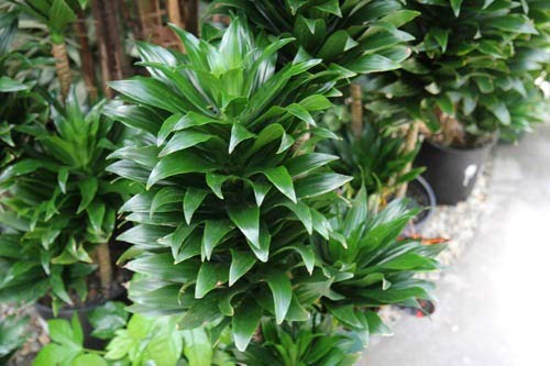 Dracaena Janet Craig - Live Plant in a 8 Inch Pot - Dracaena Deremensis 'Janet Craig' - Beautiful Low Light Indoor Houseplant