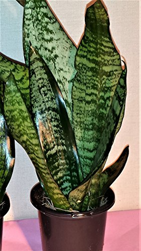 "Hirt's Superba Robusta Snake Plant - Sanseveria - Impossible to kill! - 4"" Pot"