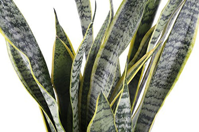Costa Farms Premium Live Indoor Snake Sansevieria Floor Plant Shipped in Décor Planter, 2 to 3-Feet Tall, Grower's Choice
