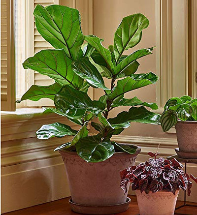 "AMERICAN PLANT EXCHANGE Fiddle Leaf Fig Ficus Lyrata Live Plant, 6"" Pot, Top Indoor Air Purifier"