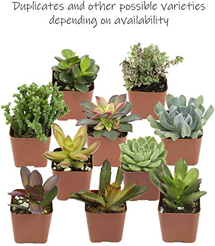 Altman Plants, Live Succulent Plants (20 Pack) Assorted Potted Succulents Plants Live House Plants in Cacti and Succulent Soil Mix, Cactus Plants Live Indoor Plants Live Houseplants in Planter Pots
