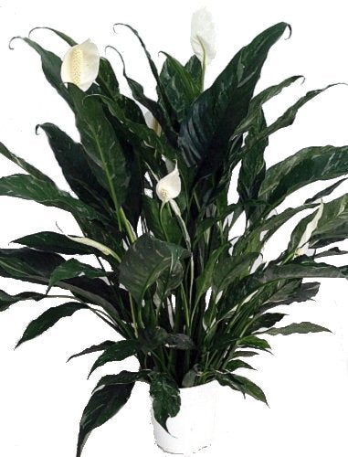 "Domino Peace Lily Plant - Spathyphyllium - New - Easy - 6"" Pot"