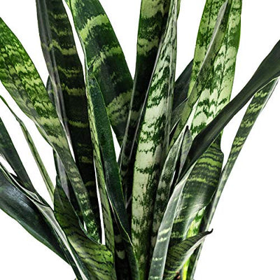 Burpee 'Black Coral' Snake Sansevieria trificiata | Indirect Medium Light | Live Easy Care Indoor House Plant