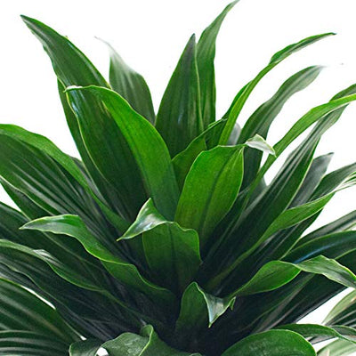 LIVETRENDS Urban Jungle Dracaena Janet C. Compacta in 4-inch Grower Po, (Live Plant)
