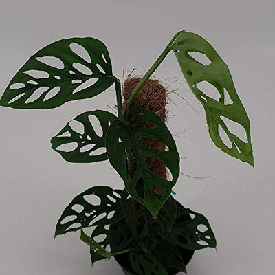 "AMERICAN PLANT EXCHANGE Monstera Adansonii Swiss Cheese Totem Pole Live Plant, 6"" Pot, Trendy Indoor Air Purifier"