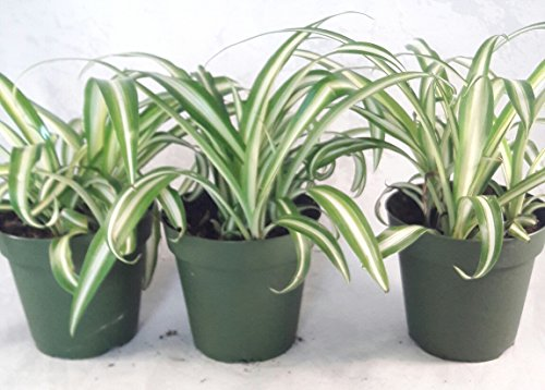 Ocean Spider Plant - 4'' Pot 3 Pack for Better Growth - Cleans the Air/Easy to Grow by Jmbamboo