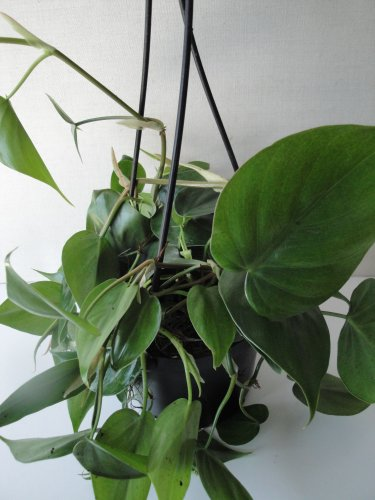 "Heart Leaf Philodendron - Easiest House Plant to Grow - 6"" Hanging Basket"