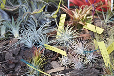 12 Pcs Tillandsia Air Plant Lot/Kit Includes 11 Plants and 1 Bottle of Organic Air Plant Fertilizer Food/Plus Gifting Box