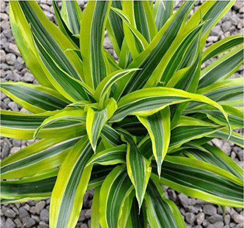 AMERICAN PLANT EXCHANGE Dracaena Lemon Lime Live Plant, 3 Gallon, Indoor/Outdoor Air Purifier