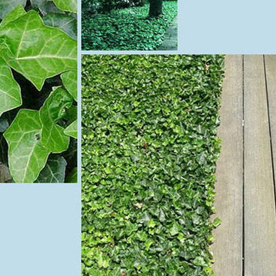"Hirt's Baltic English Ivy 4 Plants - Hardy Groundcover - 1 3/4"" Pots"