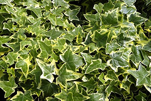 "Gold Child English Ivy - Hardy Groundcover/House Plant - Sun or Shade - 4"" Pot"