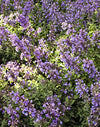Proven Winners - Nepeta faassenii 'Cat's Meow' (Catmint) Perennial, blue flowers, 1 - Size Container