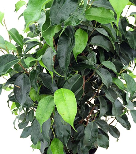 "Wintergreen Weeping Fig Tree - Ficus - Great Indoor Tree for Low Light - 8"" Pot"