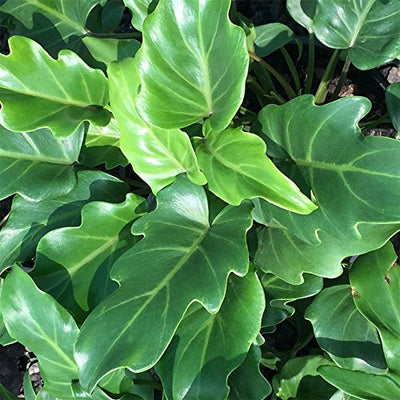 AMERICAN PLANT EXCHANGE Xanadu Philodendron Live Plant, 3 Gallon, Green