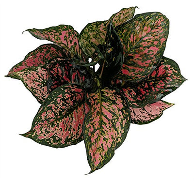 "Red Valentine Chinese Evergreen Plant - Aglaonema - Grows in Dim Light - 6"" Pot"