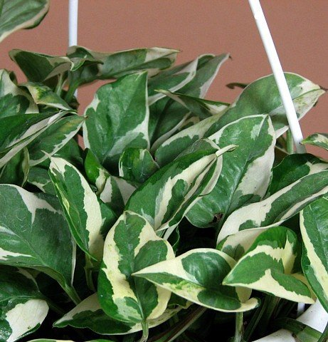"Double Dip Devil's Ivy - Epipremnum Aureum - 4"" Hanging Basket - New/easy"