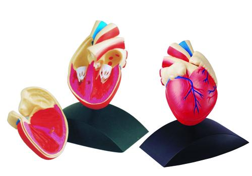 Heart Model - From Edu-Fun