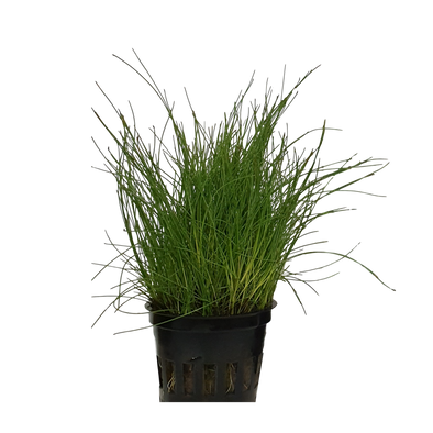 Eleocharis vivipara (Long hair grass) - Epic Aquatics - RBM Aquatics