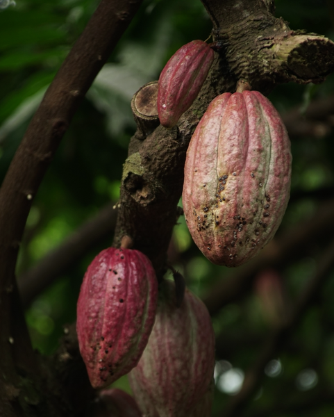 ripe bunch of cacao pods on tree