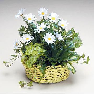 Flower Delivery Florist Funeral Sympathy Naples Humble Daisy Dish Garden