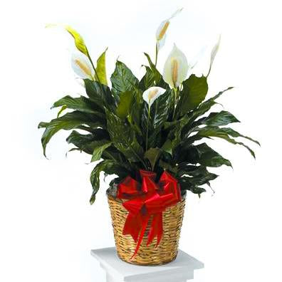 Flower Delivery Florist Funeral Sympathy Naples Peace Lily