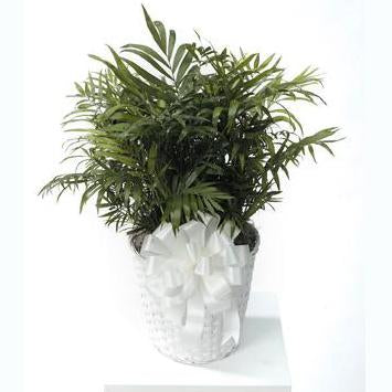Flower Delivery Florist Same Day Naples Potted Palm