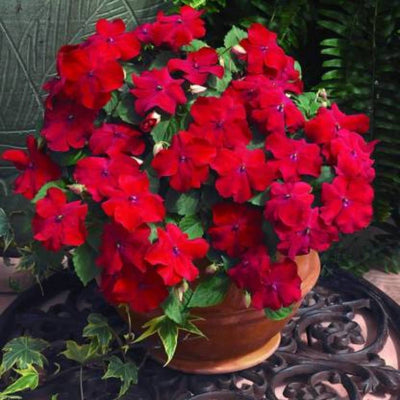 Balsam Flower Seeds - CRODOR Wholesale