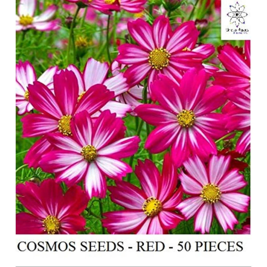 Cosmos Flower Seed (White-Red, Pack of 50)