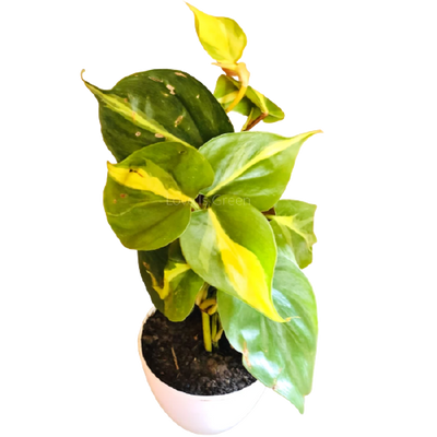 Philodendron Brasil Variegated Plant with Pot, Tray & Marble Chips for Decoration