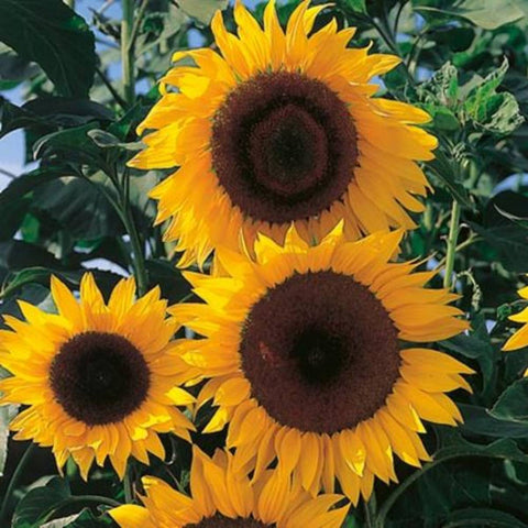 Sunflower Dwarf Flower Seeds - CRODOR Wholesale