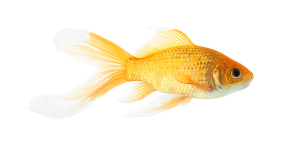 Feeder Goldfish - IN STORE PICKUP OR CURBSIDE ONLY