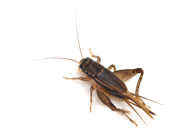 Extra Large Cricket - In Store Pickup Only