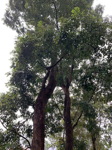 East Indian Rosewood Tree